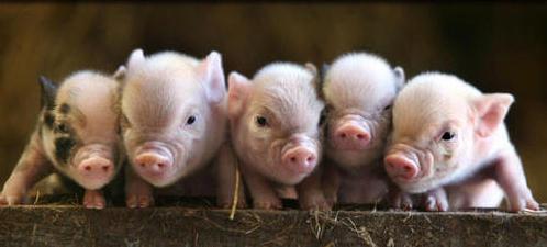 cute-baby-pigs